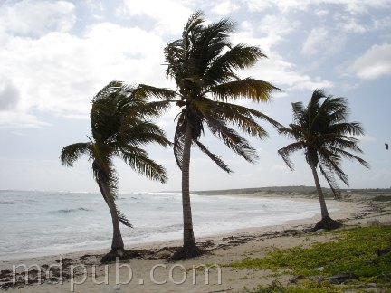 3 coconut palm trees on the beach in Cozumel Mexico.